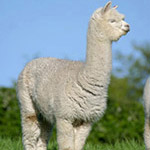 huacaya alpaca